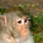 Macat Monkey in Park, Phnom Penh, Cambodia