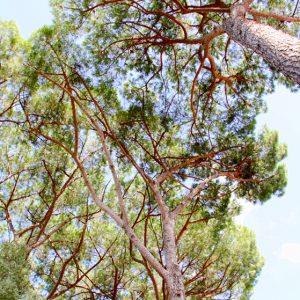 """Stone Pine"" trees of Rome"