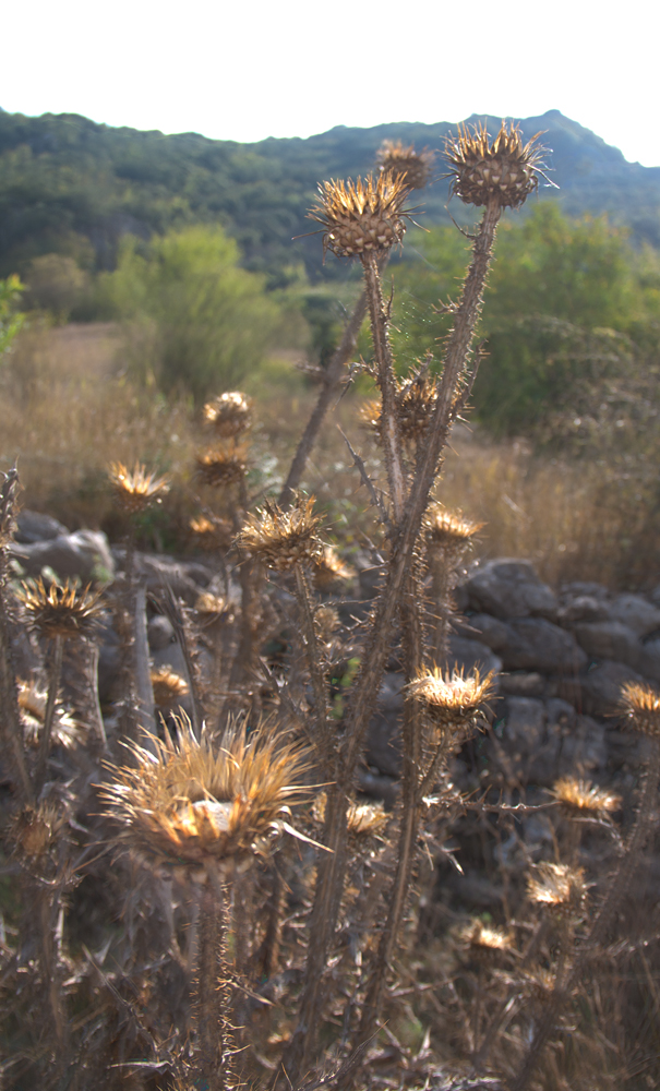Thorny roadside flower in ancient Megalopolis, Greece