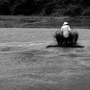 Vietnamese farmer plowing rice patty, Vietnam