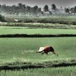 Rice farmers in Hue, Vietnam