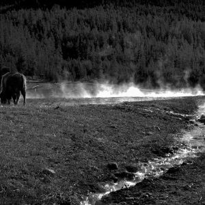 At daybreak, a bison grazes alongside a steamy mineral hot spring, Yellowstone NP, WY