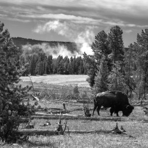 A lone bison finally roams safely near a geyser, Yellowstone NP, Wyoming