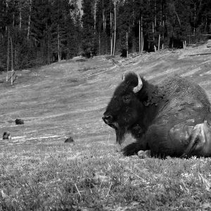"""A buffalo calf or """"red dog"""" sleeps peacefully in her mother's care, Yellowstone NP, WY"""
