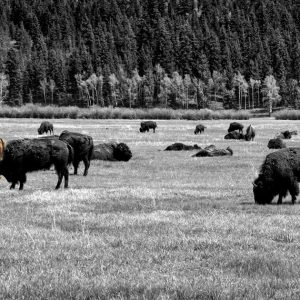 Hundreds of bison fill the Lamar Valley floor, where millions use to roam, Yellowstone NP, WY