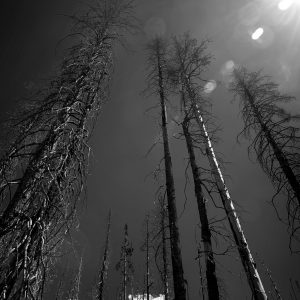 Cindered forest trees stand in witness to the changes we've created, Glacier NP, MT