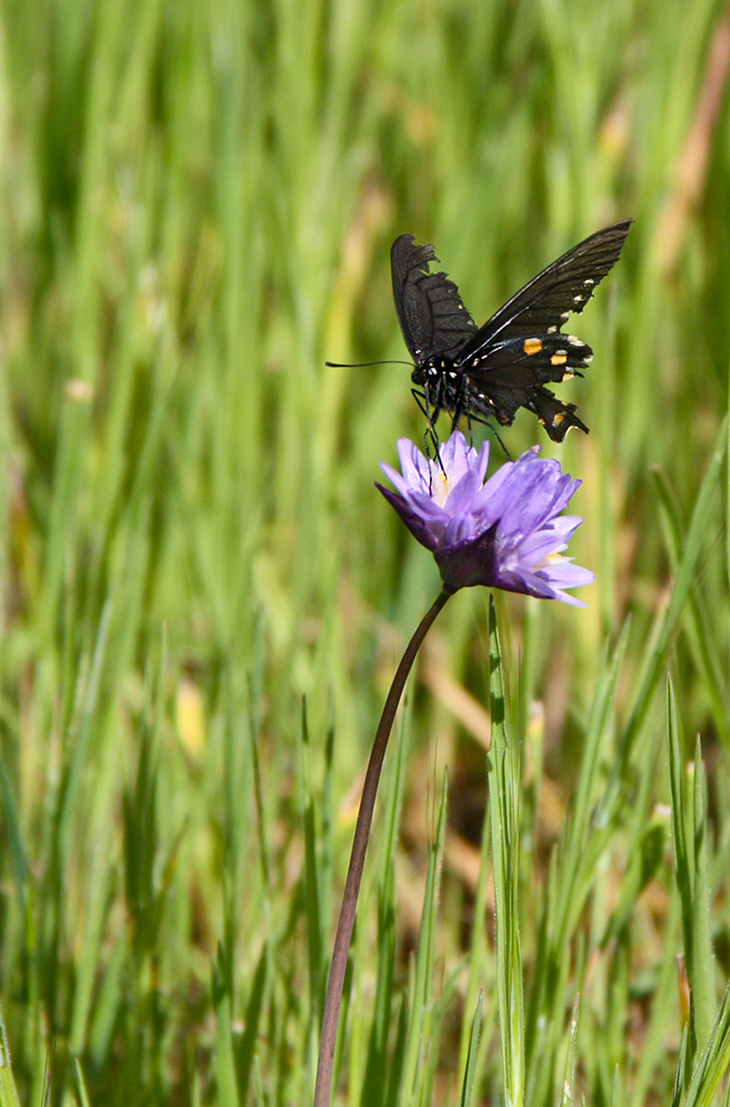 Pipevine Swallowtail collecting nectar from flower