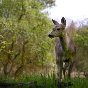 Small California Mule Deer in Nature Center, Fair Oaks, California