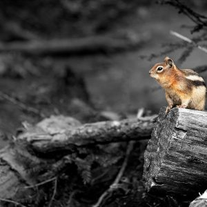 A local squirrel quickly tests the generosity of the photographer, Glacier NP, MT