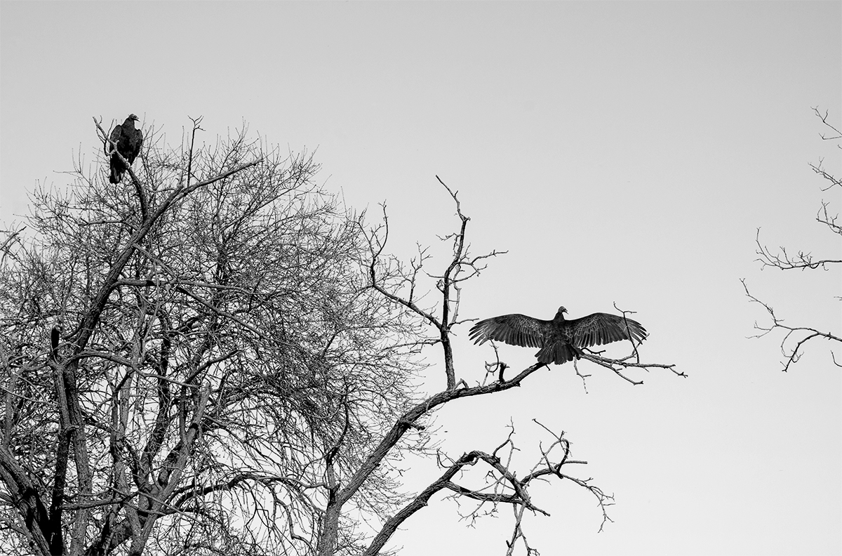 While waiting patiently for their meal below, a Turkey Vulture demonstrates his alpha status, Modesto, CA