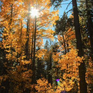 Afternoon sun shoots through Aspen trees, Lake Tahoe, CA
