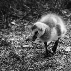 Young gosling searching for food at Skansen open air museum, Stockholm, Sweden