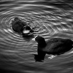 European Coot Duck in Amsterdam canal, Netherlands