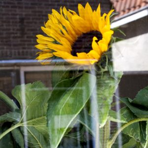 A large sunflower sits in the window of a resident of Elam, Netherlands