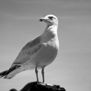 A curious yet cautious seagull