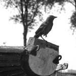 A European Jackdaw perched on an old rotted boat in the open air museum, Zaanse Schans, Netherlands