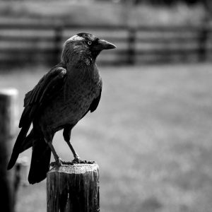 European Jackdaw sits on fence post at the open air museum, Zaanse Schans, Netherlands