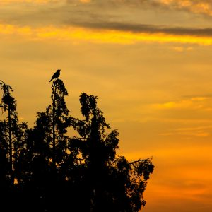 Melodic bird serenades the sunset from the suburbs of Amsterdam, Netherlands
