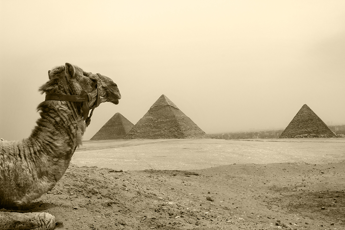 A camel rests in the noon-day sun on the Giza platau, Cairo, Egypt