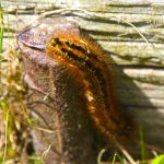 Catepillar near WWII German bunkers in Bangsbo Fort, North Jutland, Denmark