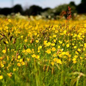 Poppy field in North Jutland, Denmark