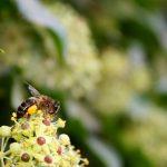 Honey bee in Alhambra garden at Granada, Spain