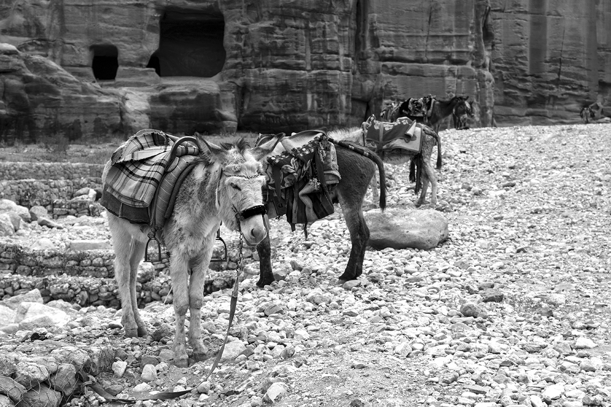 A group of donkeys await to take the burden off exhausted tourists, Petra Ruins, Jordan