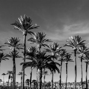 Multiple palms on the grounds of a hotel in Desert Springs, CA
