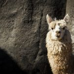 A curious alpaca stands before the 14th century Incan fortress-temple, Sacsayhuaman, Cusco, Peru