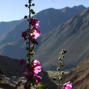 Hollyhocks in the Sacred Valley, Peru