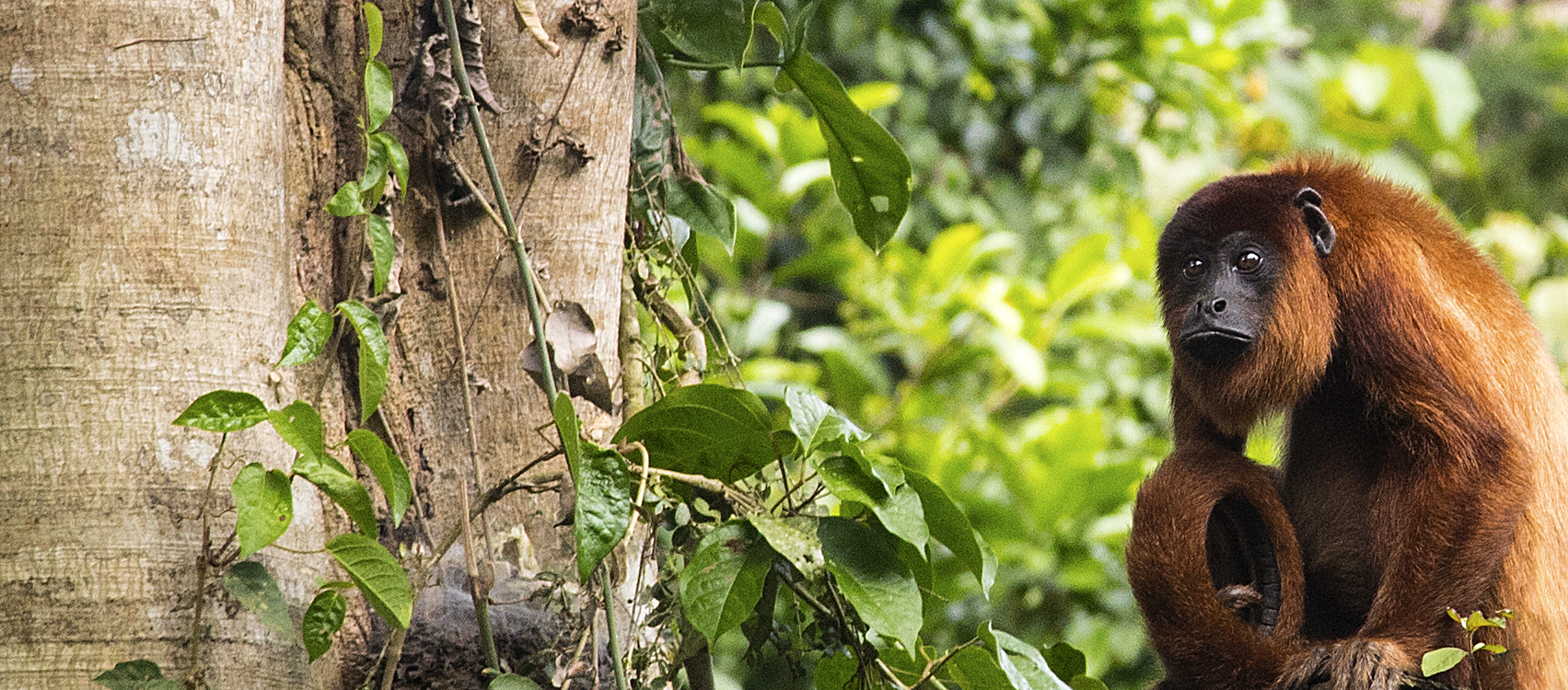 A Howler monkey is on alert while his cousins catch a quick glimpse, Amazon, Peru