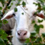 Greek goat peeking through hedge, Greece