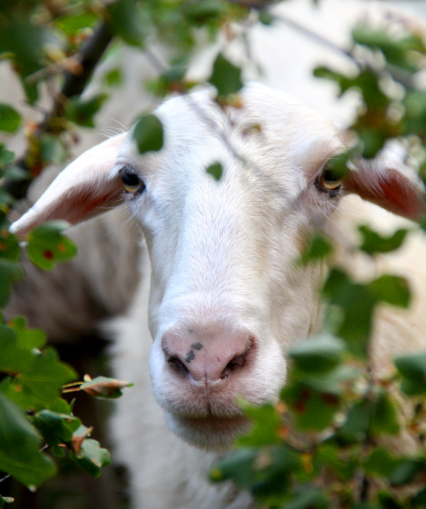 Greek goat peeking through hedge, Greece