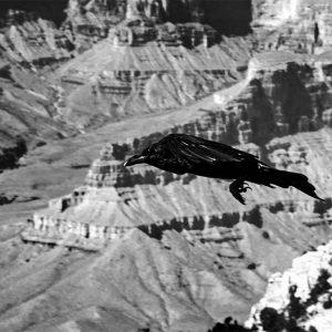 A raven soars across the Grand Canyon, AZ