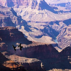 Three Ravens compete for the local skies of Grand Canyon, AZ