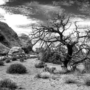 A dead conifer near of Skyline Arch, Arches NP, Utah