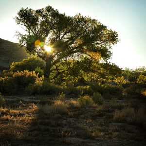 Sunlight peaks through the branches of an old Cottonwood tree, Torrey, Utah