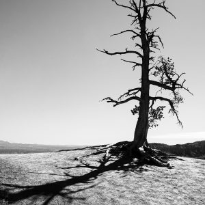 An old pine barely hangs on to life while keeping watch over the canyon of hoodoos, Bryce Canyon, NP, Utah