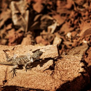 A local lizard slowly changes out his coat while basking, Zion NP, Utah