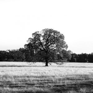 A lone oak tree sits just of the highway near Sloughhouse, CA