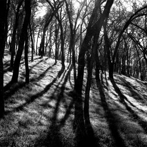 Light streams through a forest of young oaks on a hillside adjacent to Folsom Lake, CA