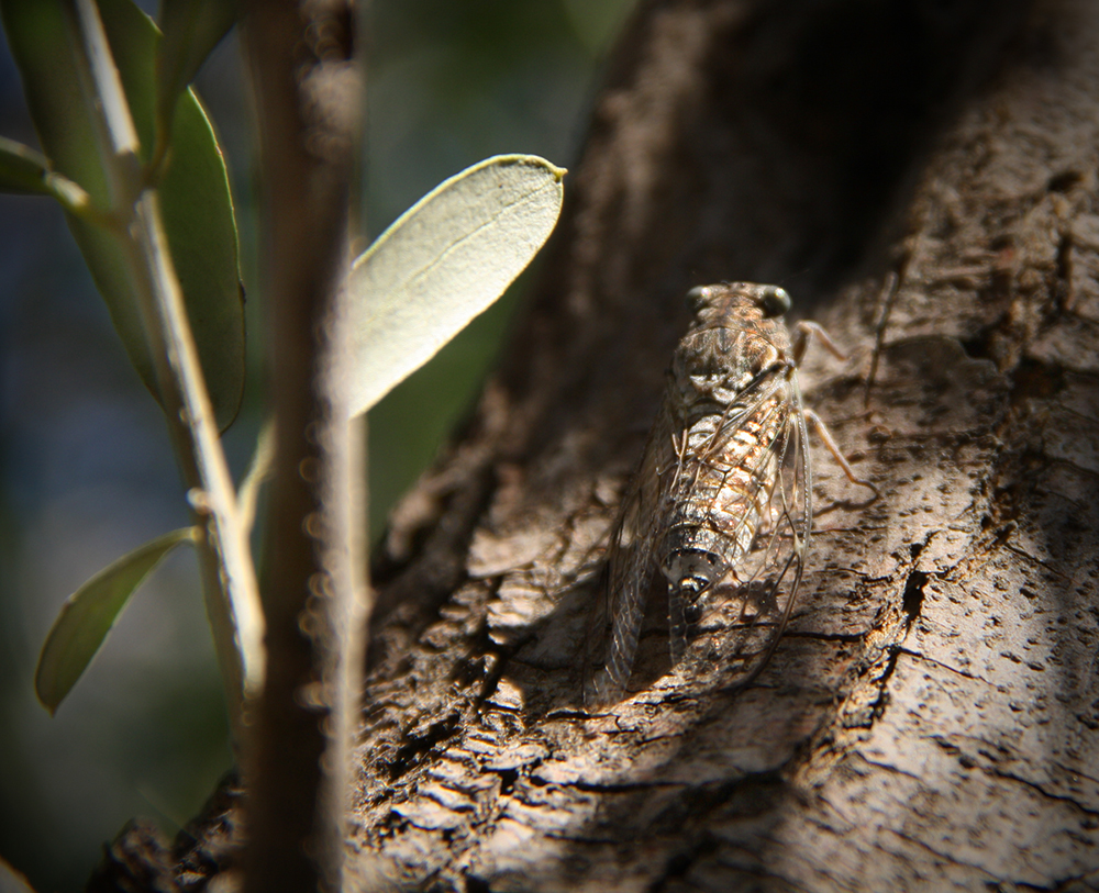 Cicada bug on olive tree in Athens, Greece