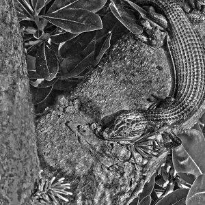 A native alligator lizard draws energy from the morning sun, Sacramento, CA