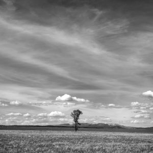 A tall Cottonwood stands alone in the expansive Mormon Row valley, Grand Tetons NP, WY