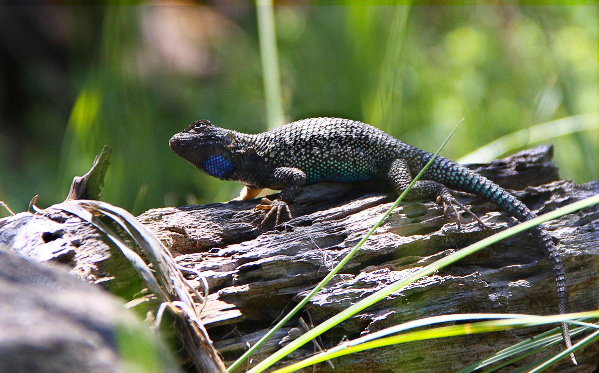 Western Fence Lizard on log