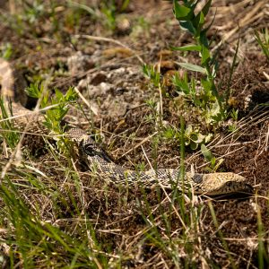 A Bullsnake winds through the dry terrain in search of its next meal, Mammoth Hot Springs, Yellowstone NP, WY