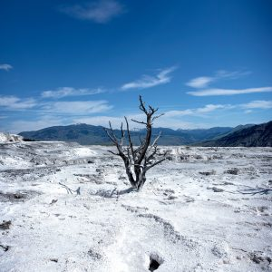 A lone dead tree stands witness to the deadly environment created by the nearby caustic hot springs, Mammoth Hot Springs, Yellowstone NP, WY