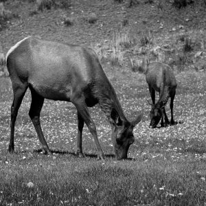 A mother elk shows her young bountiful and safe feeding grounds, Mammoth Hot Springs, Yellowstone NP, WY