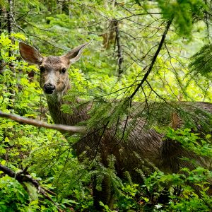 A black-tailed deer foraging through the forest of Mount Rainier, WA