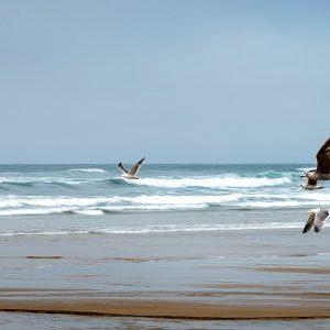 Sea gulls race across the beach after enjoying an fresh estuary bath, Cannon Beach, OR